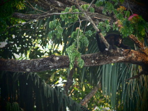 Howler Monkey in the canapy in Santa Teresa Costa Rica