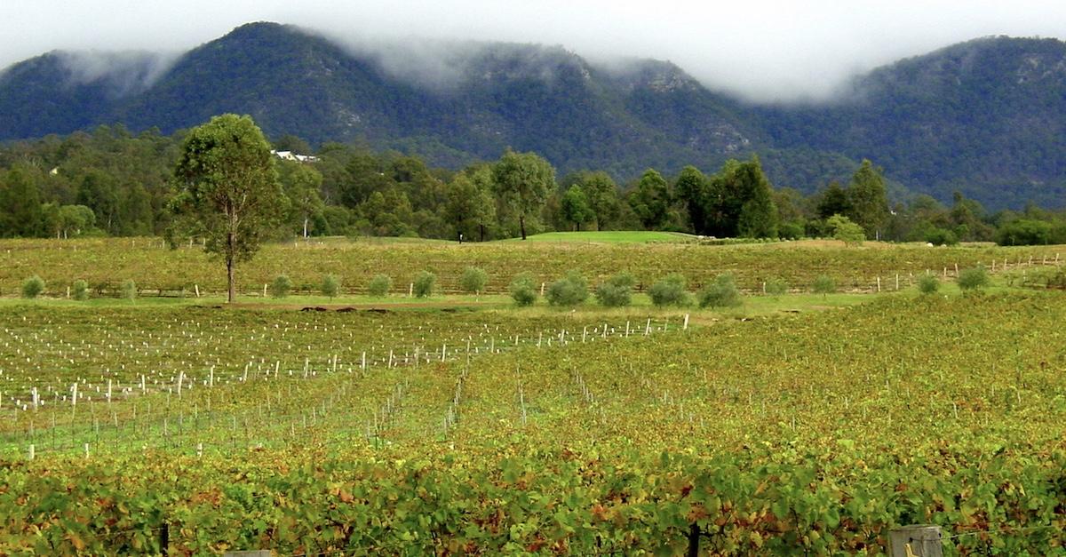 Vineyard in Hunter Valley Australia