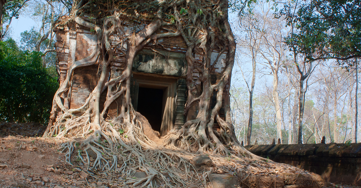 Roots envelope Koh Ker Temple