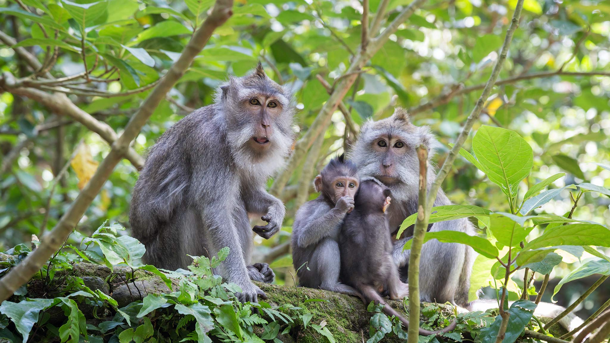 Four monkeys sitting on a ruin in the Ubud Monkey Forest in Bali