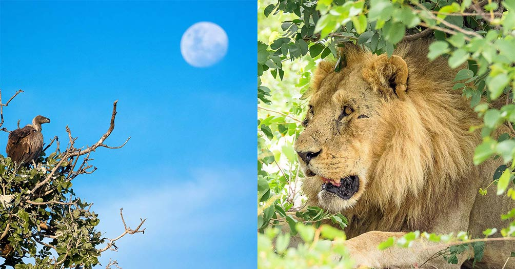 Left: African Vulture sitting a tree with the moon in the background. Right: African lion lying in the bush.