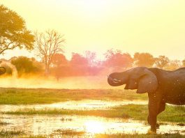 African elephants at a watering hole at sunset