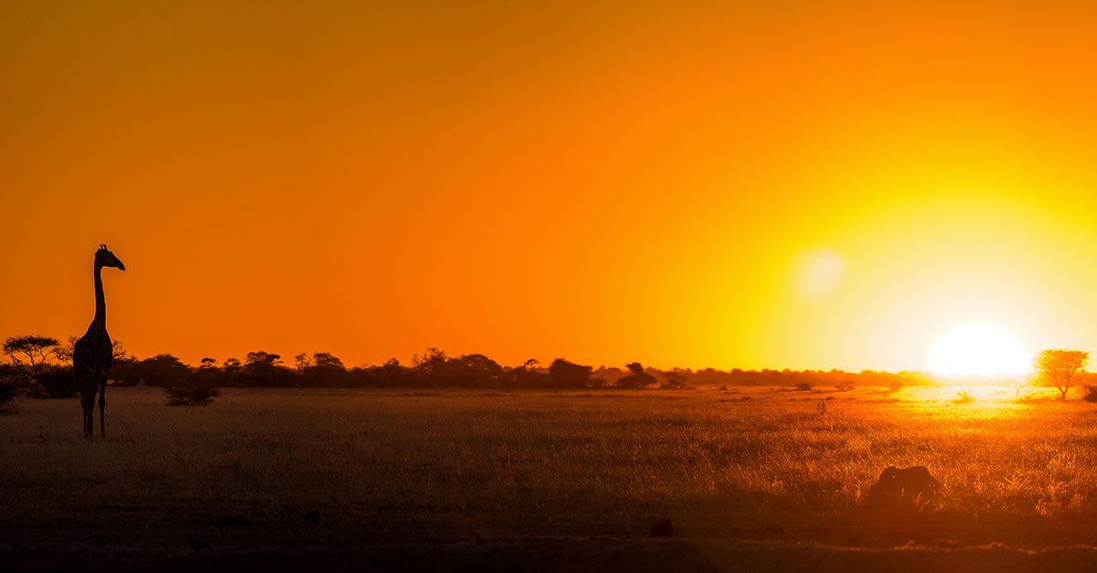 A Giraffe in Africa at sunset