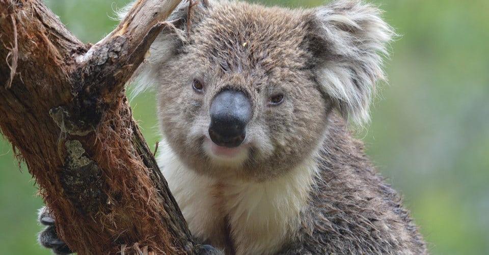 A kuala bear is seen along a biking trail in Australia