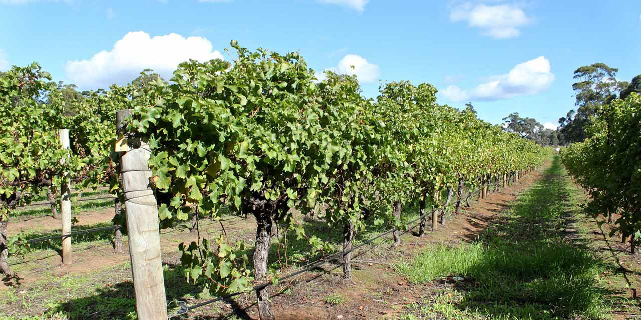 Rows of grape vine in Australia's Margaret River Wine Region