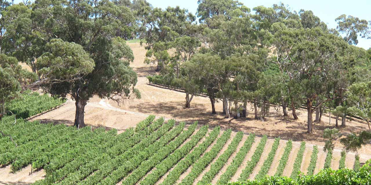 A view of a vineyard in Southern Australia