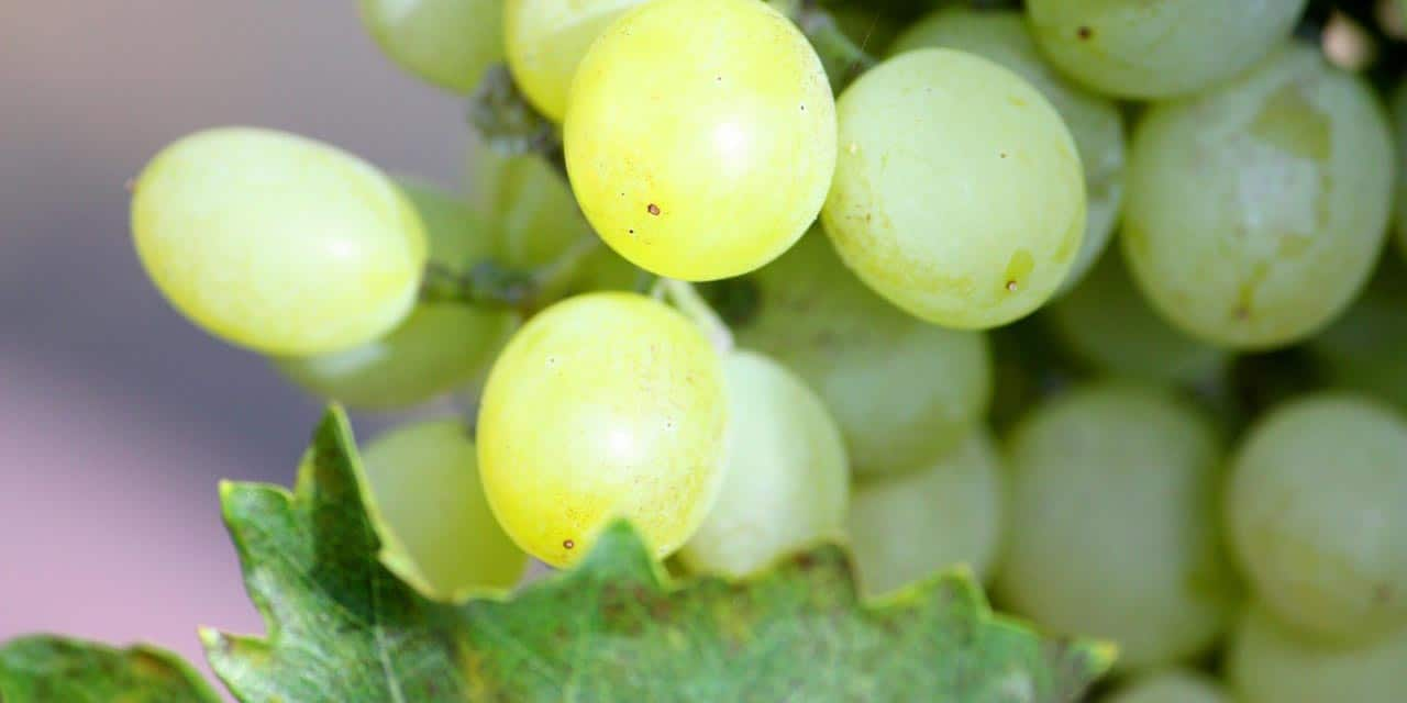 Grapes from Australia's Wine Country