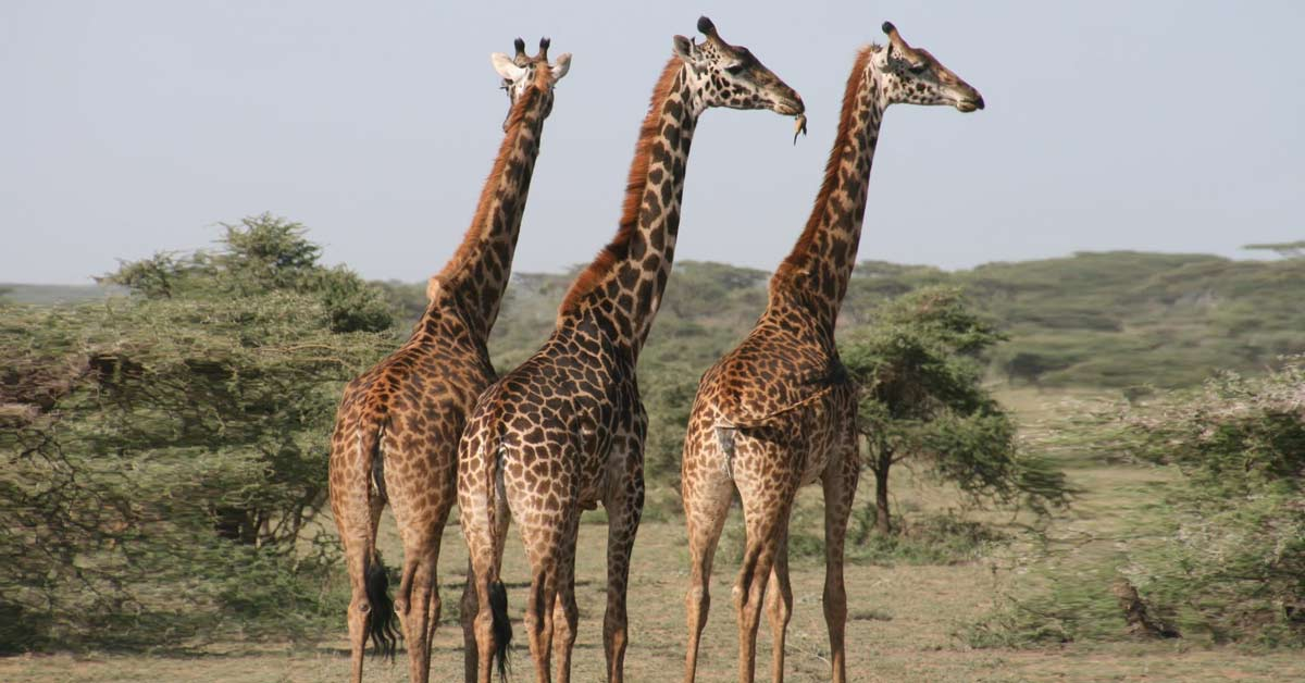 Image of giraffes during a safari in Africa