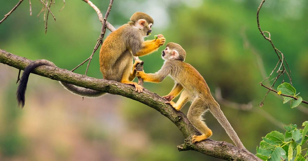 Image of two monkey in the Amazon Rainforest.