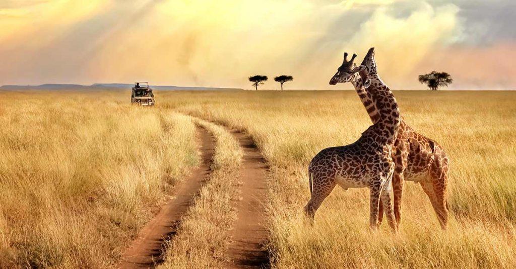 Image of giraffes in the Masai Mara National Reserve, Kenya.