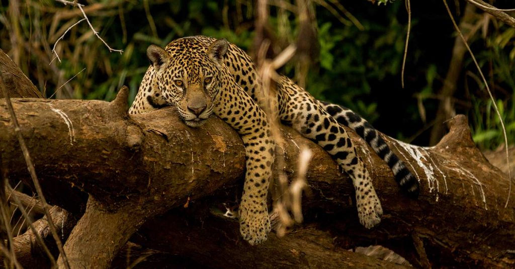 Image a jaguar in the Pantanal region of Brazil.